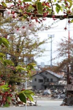 110505石巻の桜.jpg