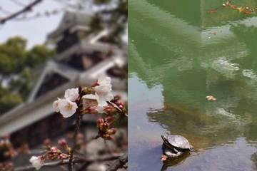130323熊本城桜と亀.jpg
