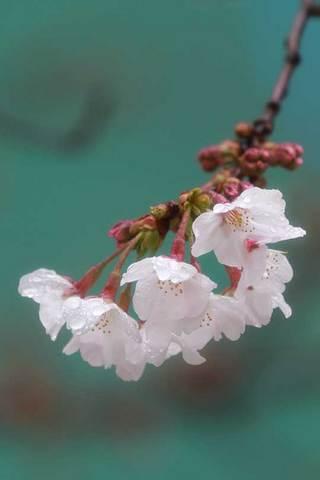 160325桜.jpg