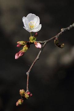 160327桜a.jpg
