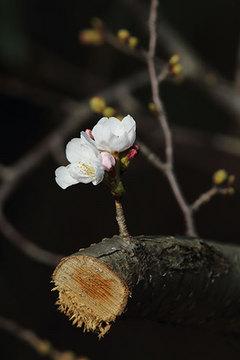 160327桜b.jpg