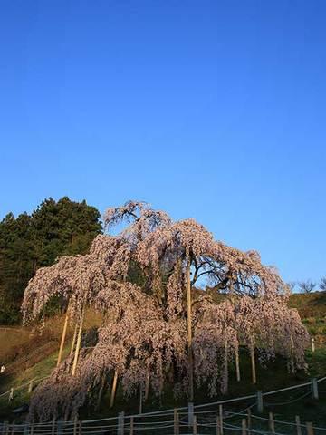 160412朝陽の滝桜.jpg