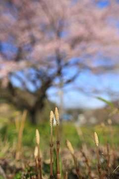 160414三春の春.jpg