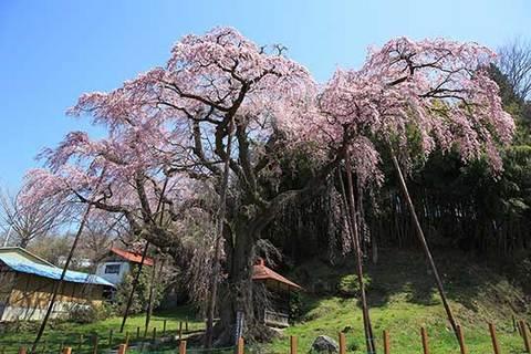 160414地蔵桜.jpg