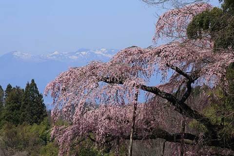 160414地蔵桜と安達太良.jpg