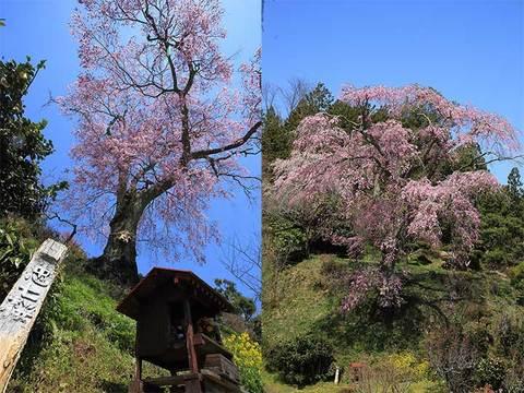 160414忠七桜.jpg