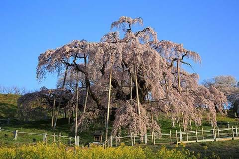 160414滝桜.jpg