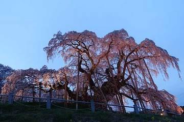 160414滝桜ライトアップ.jpg