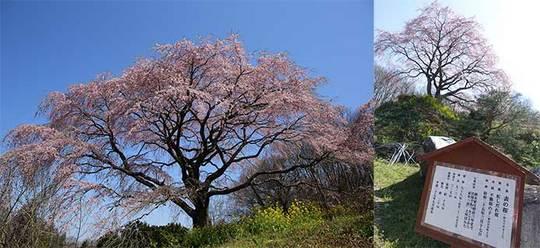 160414表の桜.jpg