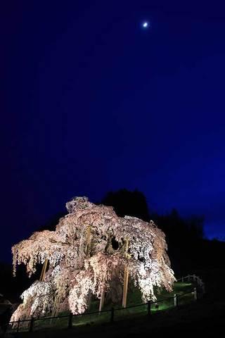 160416滝桜に三日月.jpg