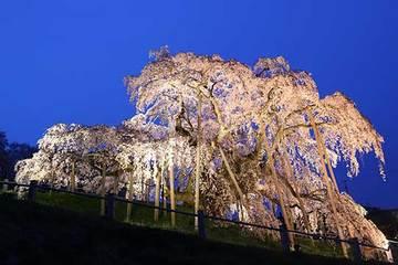 160416滝桜ライトアップa.jpg