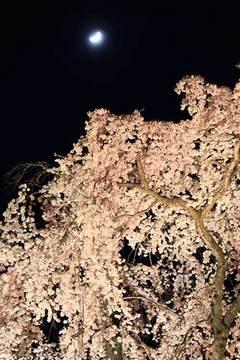 160416滝桜ライトアップc.jpg