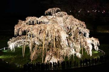 160416滝桜ライトアップd.jpg