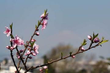 170403桜と富士.jpg