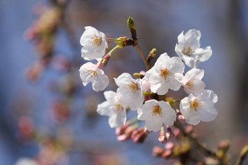 170403桜は一分.jpg