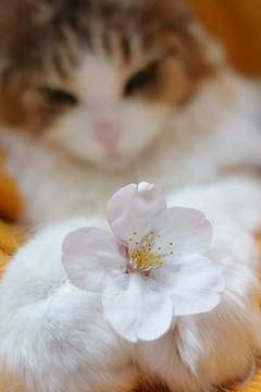 170407桜をきょんにb.jpg