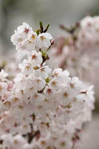 170407桜満開.jpg