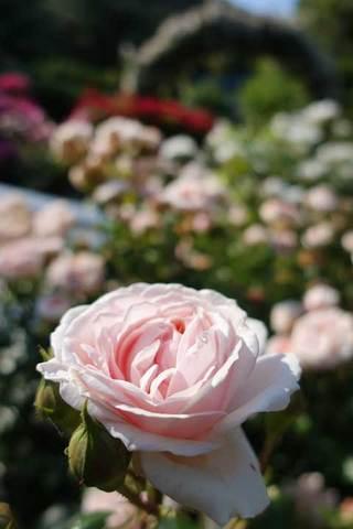 170531文学館の薔薇a.jpg