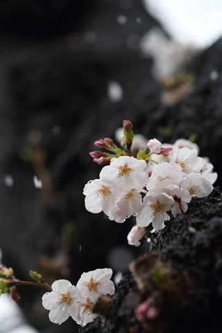 180322桜に雪b.jpg
