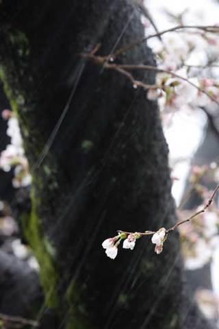 180322桜に雪c.jpg