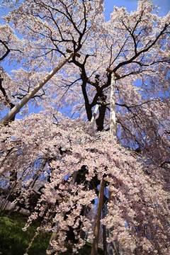 160416滝のように桜.jpg
