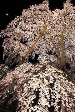 160416滝桜ライトアップb.jpg