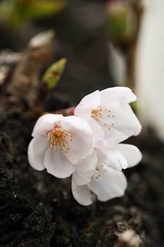 170322桜開花.jpg