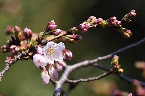 190320東京桜標準木a.jpg