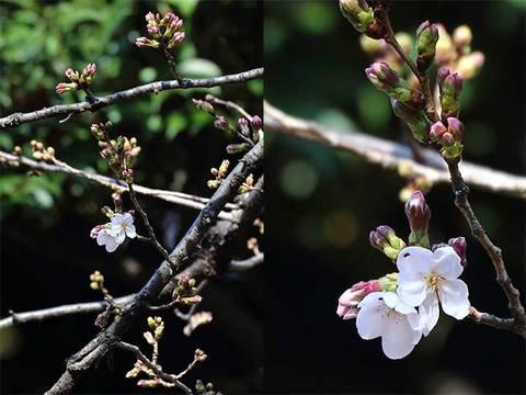 190320東京桜標準木c.jpg