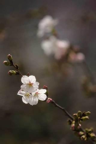 190323桜a.jpg