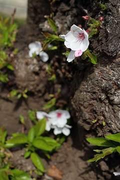 190323桜b.jpg