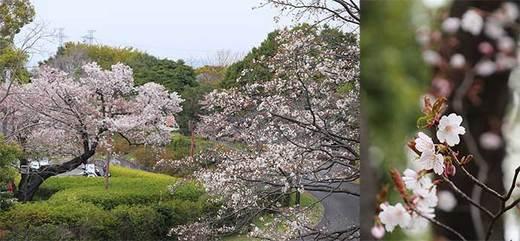190415桜a.jpg