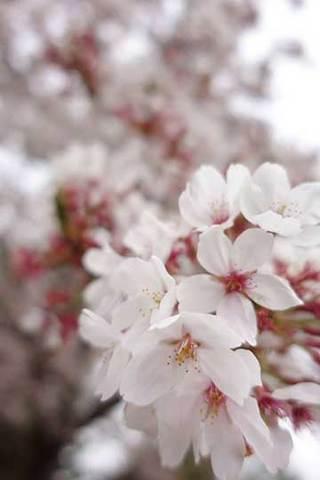 190415桜b.jpg