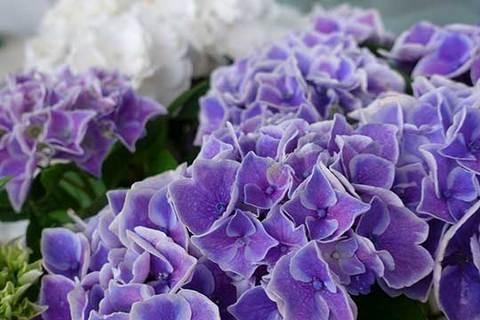 190610紫陽花b.jpg
