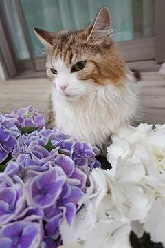 190614きょんと紫陽花.jpg